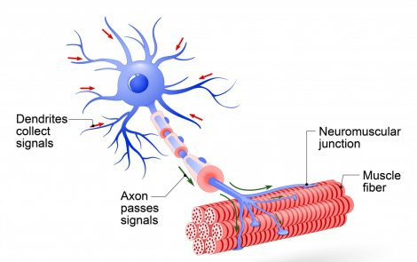 Using Skin Cells, Scientists Create Human Motor Neurons in Study