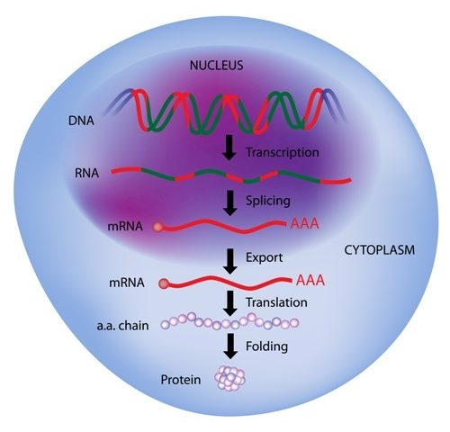 Researchers Identify Process That Regulates How SMN2 Gene Is Read in SMA